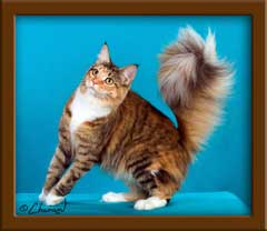 Brown Patch Maine Coon Queen