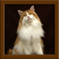 Red Maine Coon Stud
