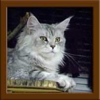 Lizzy a Queen Maine Coon Cat