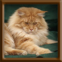 Red Male Maine Coon Stud