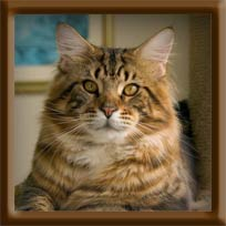 Brown Tabby Maine Coon Stud