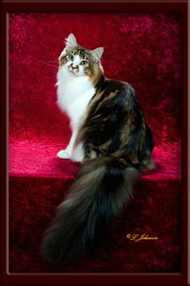 Maine Coon Stud Marty