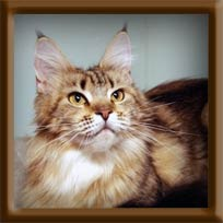Brown Tabby Maine Coon Queen