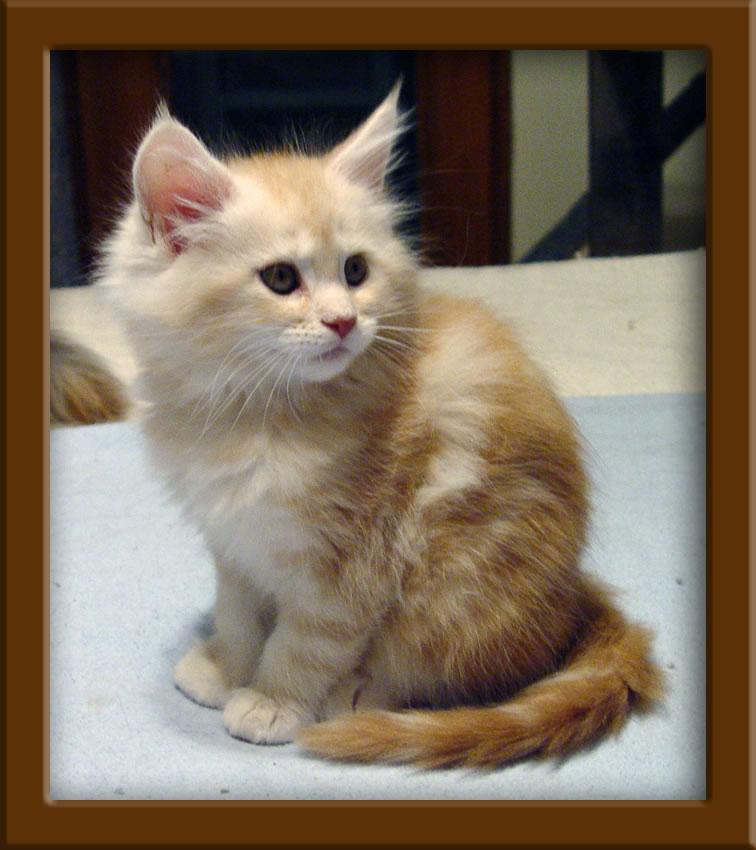 LapCats Maine Coon Cats and Kittens for sale Kansas