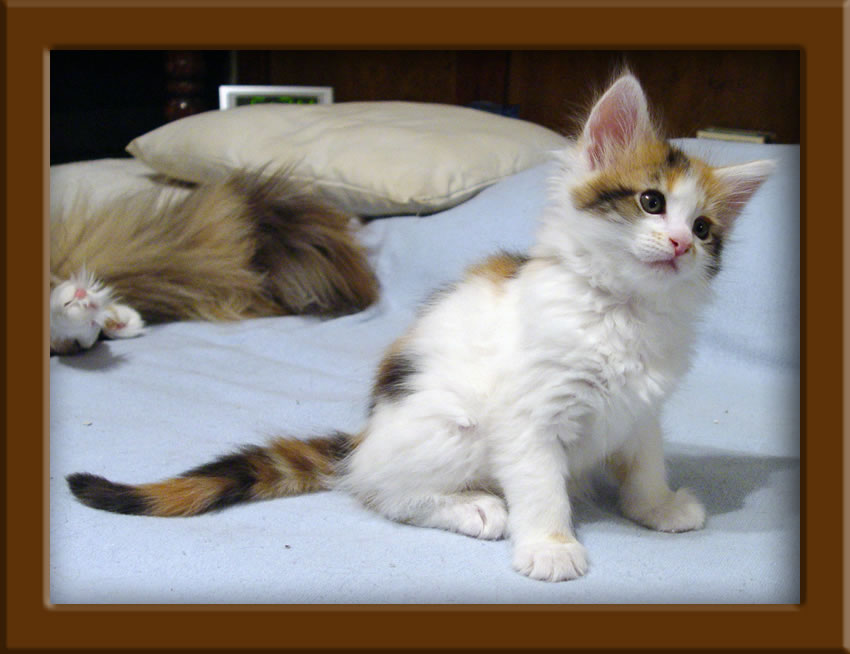 Maine Coon Kittens For Sale In Kansas