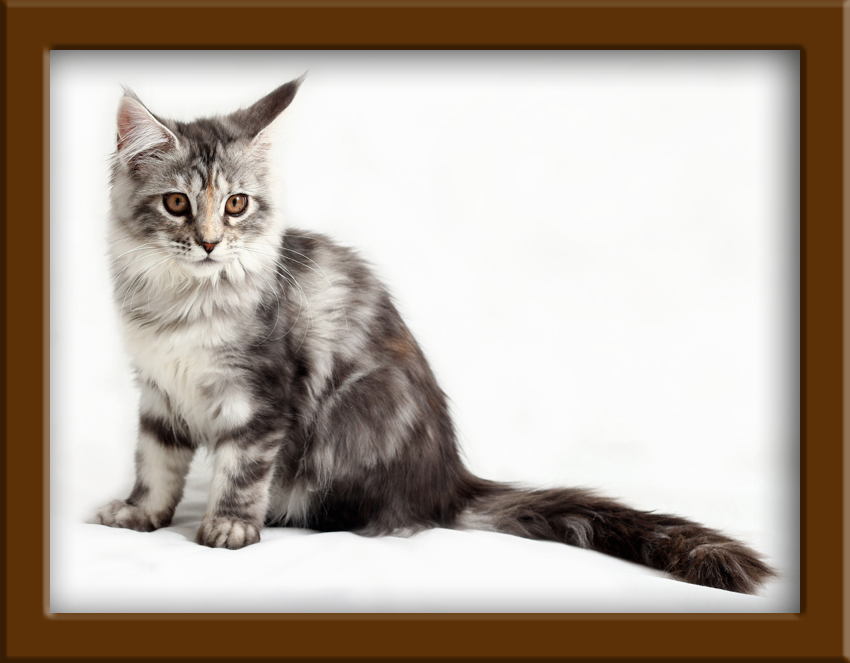 Reviews and Customer Comments about LapCats Cattery Maine Coon Cats