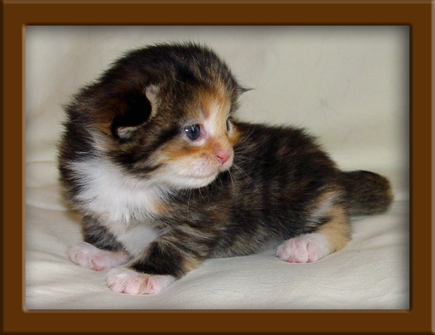 Http Www Maine Coon Cat Nation Com Maine Coon Kittens For Sale Html