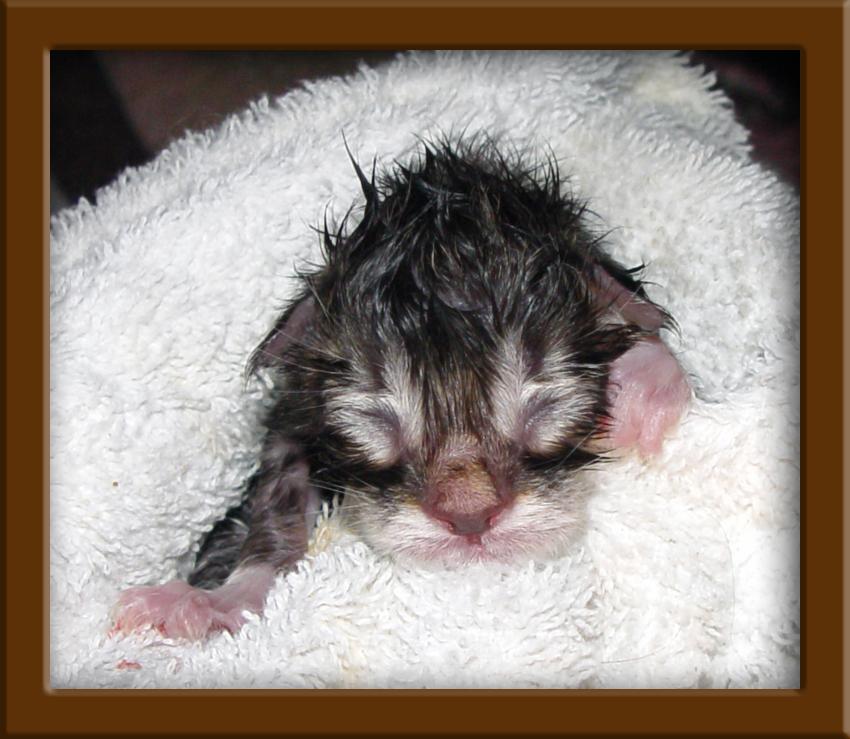 Newly Born Kittens Maine Coon Kitten New Born