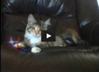 Maine Coon Kitten Rosa Parks Playing